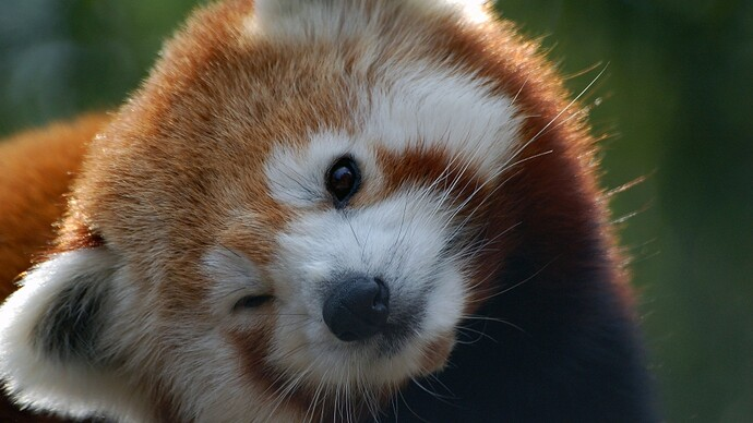 Nepal closes a national park to give mating red pandas some privacy